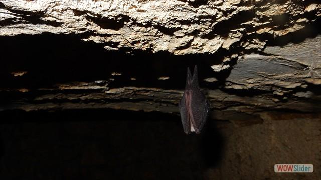 Un Grand rhinolophe enveloppé dans ses ailes.